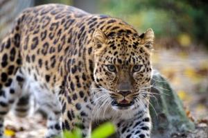 leopard_stalking
